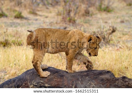 African Lion (Panthera Leo), young eating a Cape Buffalo  (Syncerus caffer caffer) which was killed two nights before by the females of the pride. Savuti, Chobe National Park, Botswana.