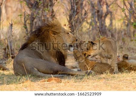 African Lion (Panthera Leo), male and youngs, Savuti, Chobe National Park, Botswana.