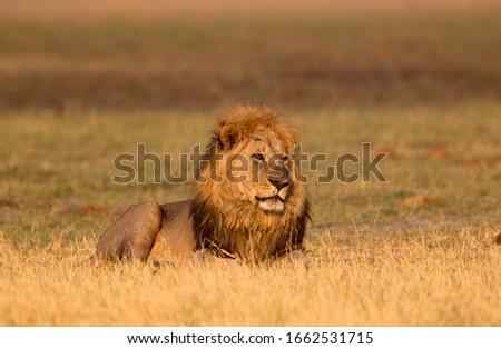 African Lion (Panthera leo). Savuti, Chobe National Park, Botswana.
