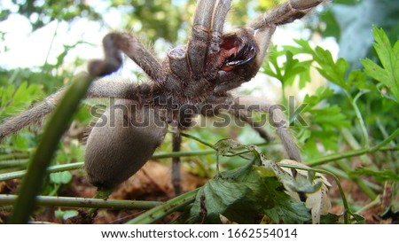 Tarantula , Spider Tarantula fangs Close up female of Spider Tarantula in threatening position. Largest spider in terms of leg-span is the giant huntsman spider. Females can live up to 25 years. #1662554014