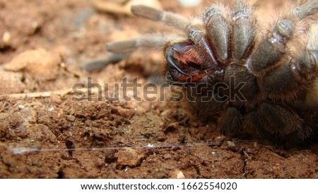 Tarantula , Spider Tarantula fangs Close up female of Spider Tarantula in threatening position. Largest spider in terms of leg-span is the giant huntsman spider. Females can live up to 25 years.