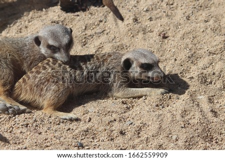 A pair of meerkats lying in the sand one is in profile showing its teeth and the other has its head resting on the other meerkats back. The stripes on the meerkats back are unique to each animal.