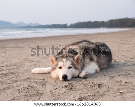 siberian husky on the huahin sea beach, lie down on soft sand and seeking the travelor in the monday morning with sweet sun light shining into sea beach area.