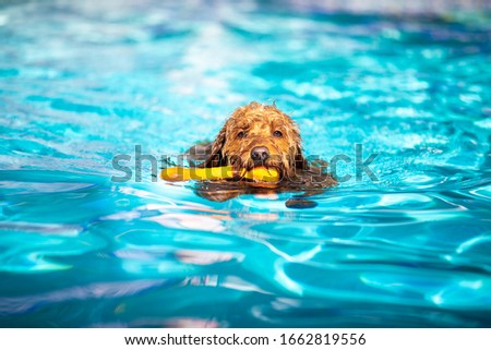 Miniature goldendoodle dog playing fetch in a salt water pool. #1662819556