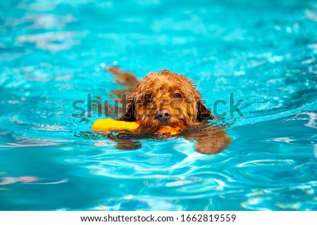 Miniature goldendoodle dog swimming and fetching toy in a salt water pool. #1662819559