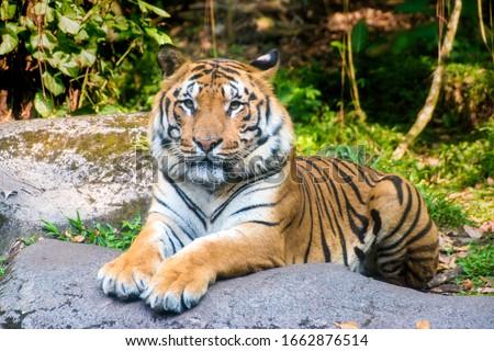 Sumatran tiger (Panthera tigris sumatrae) at Safari Park Royalty-Free Stock Photo #1662876514