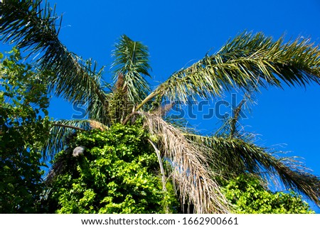 Tall graceful majestic Cocos plumosa Queen palm in flower with morning glory creeper hanging down from its green crown  in early summer is a favourite  decorative garden plant. #1662900661