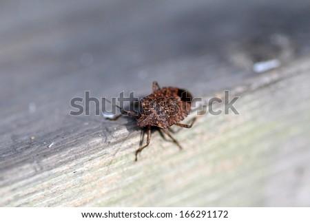 Brown marmorated stink bug (Halyomorpha halys) in Japan