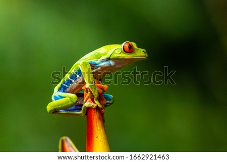 Red-eyed Tree Frog, Agalychnis callidryas, sitting on the green leave in tropical forest in Costa Rica. Royalty-Free Stock Photo #1662921463