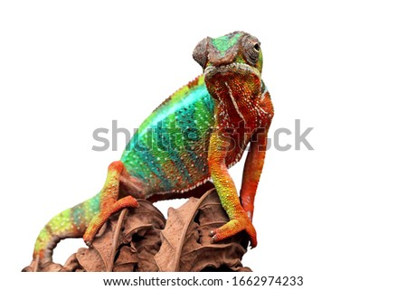 Beautiful color of chameleon panther, chameleon panther on dry leaves, chameleon panther closeup, Chameleon panther on branch with white backround, #1662974233