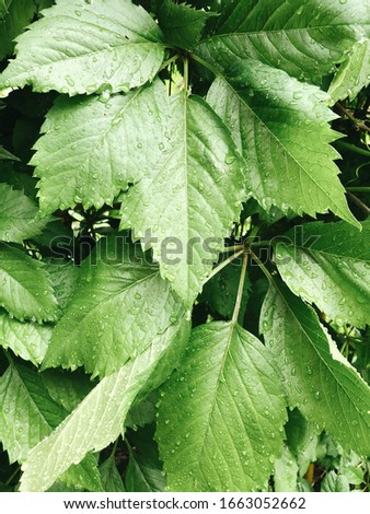 Dark green foliage of a healthy plant with jagged leaves, sparkling raindrops. background or banner. #1663052662