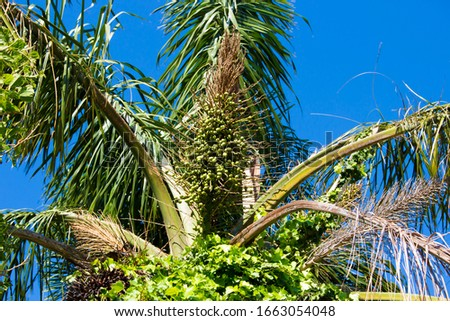 Tall graceful majestic Cocos plumosa Queen palm in flower with morning glory creeper hanging down from its green crown  in early summer is a favourite  decorative garden plant. #1663054048
