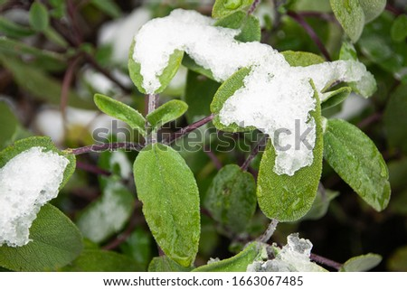 Snow Covered Common Sage Leaves Salvia officinalis in a Small Garden in Spring #1663067485