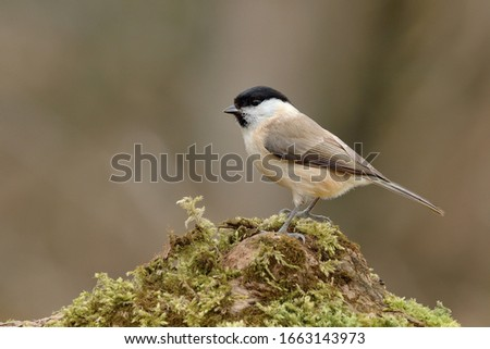 Willow Tit sitting on a tree trunk. Covered with moss.Looking for food. Genus species Parus montanus. #1663143973