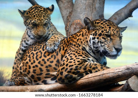 Jaguar cub & mon playing are a feline in the Panthera genus only extant Panthera species native to the Americas. Jaguar is the third-largest feline after the tiger & lion & largest in the Americas