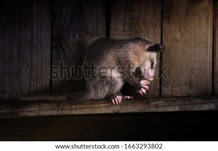 The possum is praying. A young Virginia opossum (Didelphis virginiana) is washing her face.