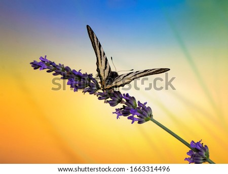 macro picture of a butterfly swallowtail sitting on a lavender in front of a beautiful colorful background. Close up of butterfly with cool background and flower