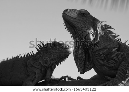 Picture of Isolated Duo Tropical Iguanas pose under the shade of a coconut tree. Iguana are well known as Endemic Reptile which look very similar to Gecko, Komodo Dragon, and Lizards.