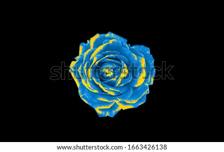 Blue and yellow rose isolated on black background. Blue and yellow abstract background. Blue and yellow flower on black background.