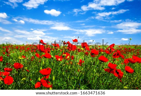 Summer scarlet poppy flowers field. Scarlet poppy flowers meadow. Summer scarlet poppies flowers meadow #1663471636