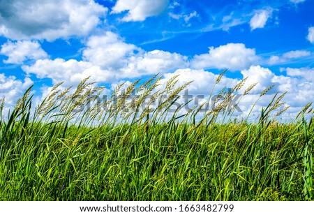 Summer high grass scene. Grassland nature in summer #1663482799