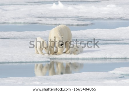 Wild polar bear (Ursus maritimus) mother and cub on the pack ice Royalty-Free Stock Photo #1663484065