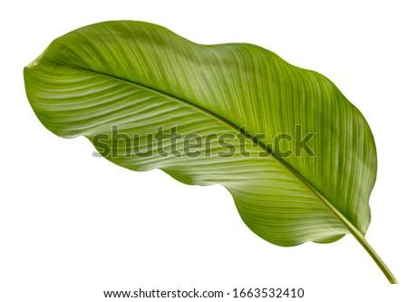 Calathea ornata leaves(Pin-stripe Calathea),Tropical foliage isolated on white background, low angle view. #1663532410