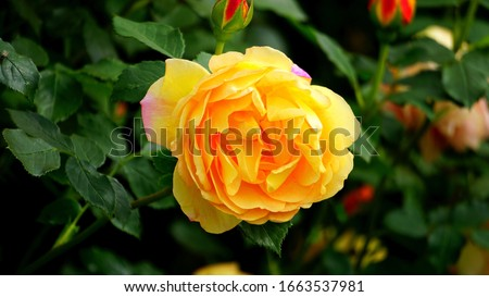 Beautiful Yellow Rose Best Picture of Yellow Colured Rose Hd Rose Wallpaper