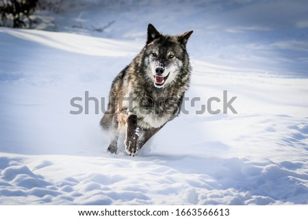 Wolf pack, wolves in winter snow #1663566613