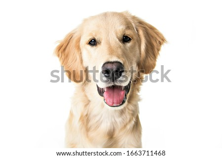 A young Golden Retriever Portrait isolated on white Royalty-Free Stock Photo #1663711468