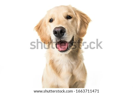A young Golden Retriever Portrait isolated on white Royalty-Free Stock Photo #1663711471