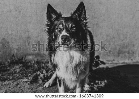 beautiful picture of a border collie dog