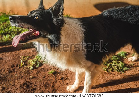a cute picture of a beautiful border collie