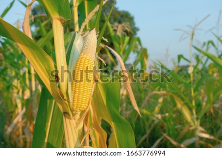 A selective focus picture of corn cob at organic corn field.  #1663776994