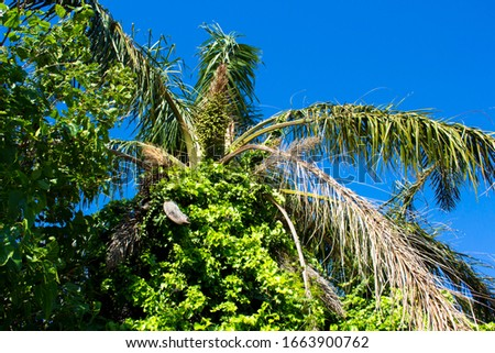 Tall graceful majestic Cocos plumosa Queen palm in flower with morning glory creeper hanging down from its green crown  in early summer is a favourite  decorative garden plant. #1663900762