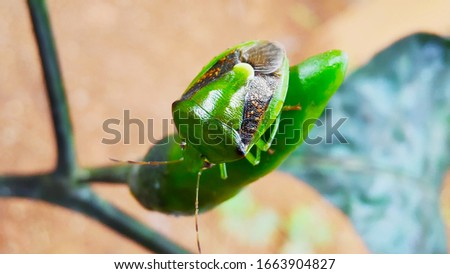 A green bug or a green stink bug on the chillies.  This insect is green soldier bug or Chinavia hilaris is a stink bug of the family Pentatomidae. It is found in orchards, gardens, and woodlands. #1663904827