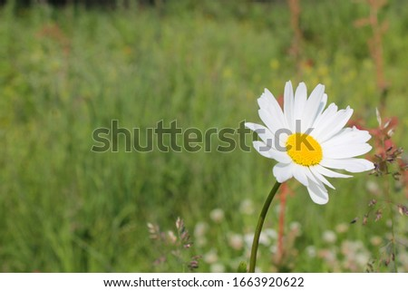 Picture of oxeye daisy herb. Herbal medicine, tea and infusion, natural cosmetics ingredient. Nature spring background with copy space
