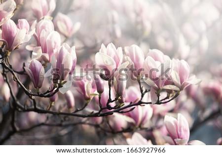 Natural background concept. Pink magnolia branch. Magnolia tree blossom. Blossom magnolia branch against nature background. Magnolia flowers in spring time.