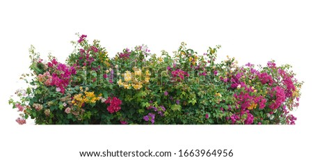 Bush flower of bougainvillea on isolated white background with copy space and clipping path. Plant tree in the garden. Royalty-Free Stock Photo #1663964956