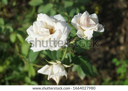 Beautiful White roses and green leaves #1664027980