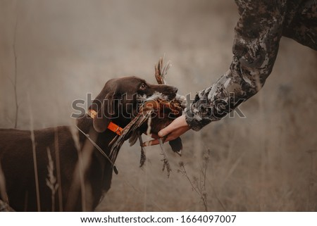 hunting dog brings pheasant game back to owner Royalty-Free Stock Photo #1664097007