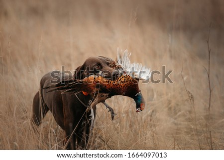 happy working dog bringing a pheasant game on a hunt Royalty-Free Stock Photo #1664097013