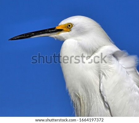 A close up of a Snowy egret with it's bright yellow lore against a blue sky background. #1664197372