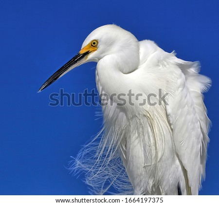 A close up of a Snowy egret with it's bright yellow lore against a blue sky background. #1664197375