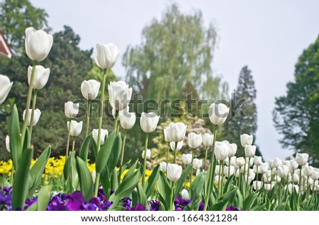 Abstract photo of beautiful landscape view of flower garden in springtime season ,where use bloom common tulip ,Didier's tulip (Tulipa gesneriana) as ornamental flowering plant for landscaping design #1664321284