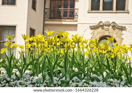 Abstract landscape view of blooming common garden tulip (Didier's tulip) in yellow color (Tulipa gesneriana) is ornamental flowering plant in springtime season for vivid landscaping in garden #1664326228