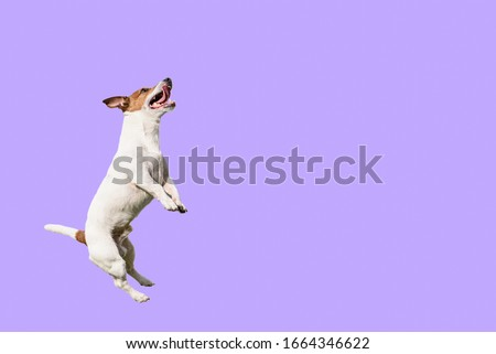 Active and agile dog jumping high on solid color purple background Royalty-Free Stock Photo #1664346622