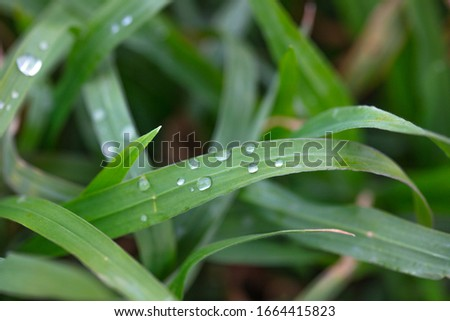 strands of grass with water droplets, macro, detail