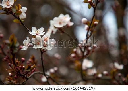 wild plum flowers blossoming, detail, macro photograph