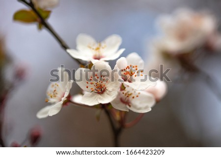 wild plum flowers blossoming, detail, macro photograph